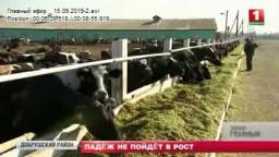 Падеж скота. Телесюжет на Беларусь – 1, программа «Главный эфир».